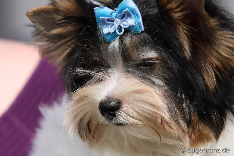 Yorkshire Und Biewer-Yorkshire Terrier