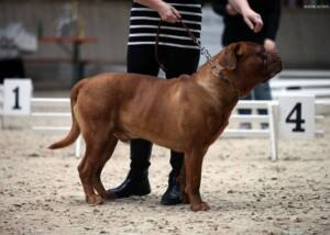 Bordeauxdogge (Dogue de Bordeaux)