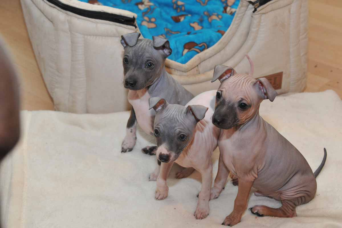 Welpen American Hairless Terrier