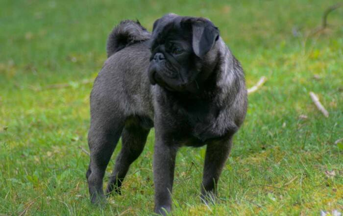 Percy the Silver-Pug