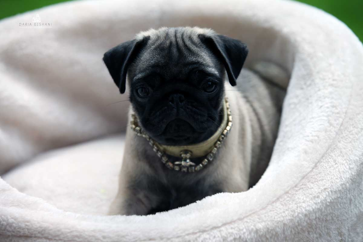 cool Pug in beige-silver